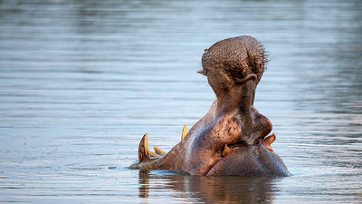 Hippo yawning at Sunset Dam
