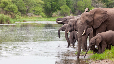 Elephants at Lake Panic