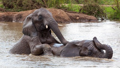 Elephants mating in water
