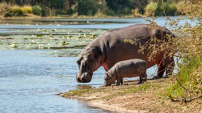 Hippo and calf at Lake Panic