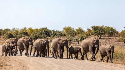 Mothering herd of Elephants