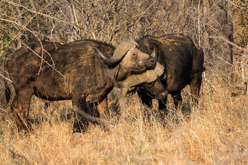African Buffalo aka Cape Buffalo aka Buffalo