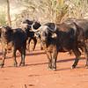 Afrrcan Savana Buffalo