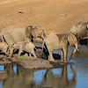African Elephant family bathing and drinking