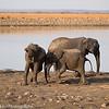 African Elaphant Family