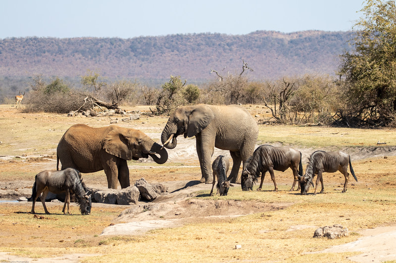 African Elephant and Blue Wildebeest