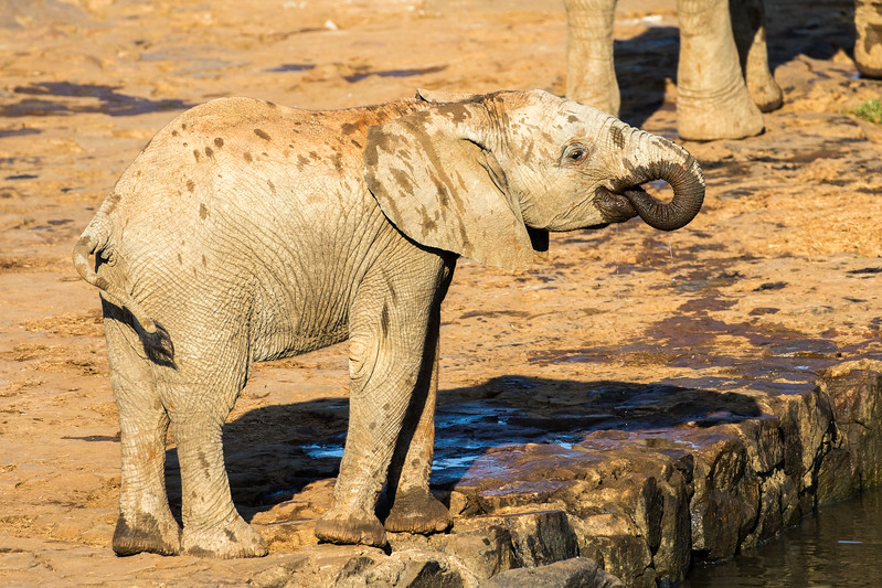 Baby African Elephant drinking