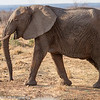 Female African Elephant