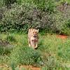 Female Lion - daughter