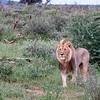 Wild Adult Male Lion