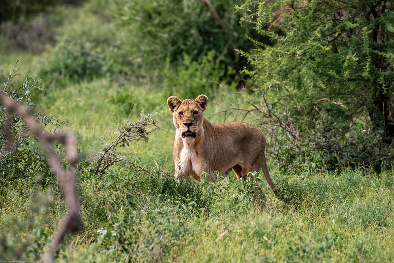 Female Lion - mother
