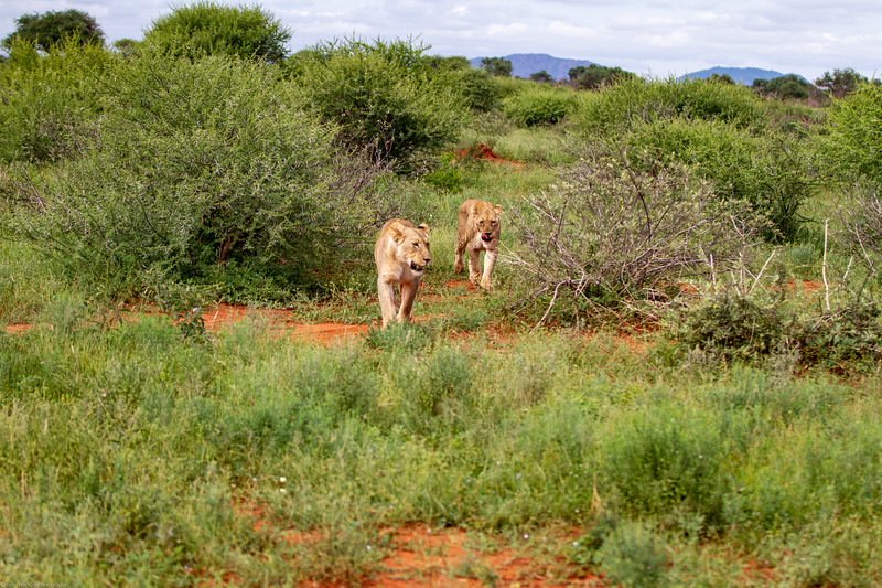 Female Lion - daughter followed by mother