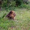 Black-maned Lion - the weakest one