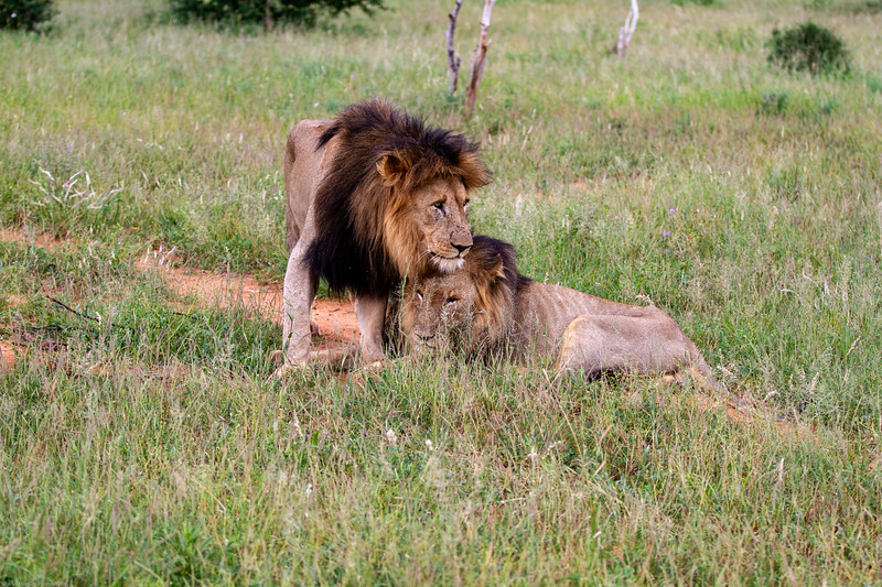Black-maned Lions - defeated and starving still supportive and loving