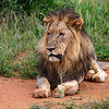Black-maned Lion - the weakest one