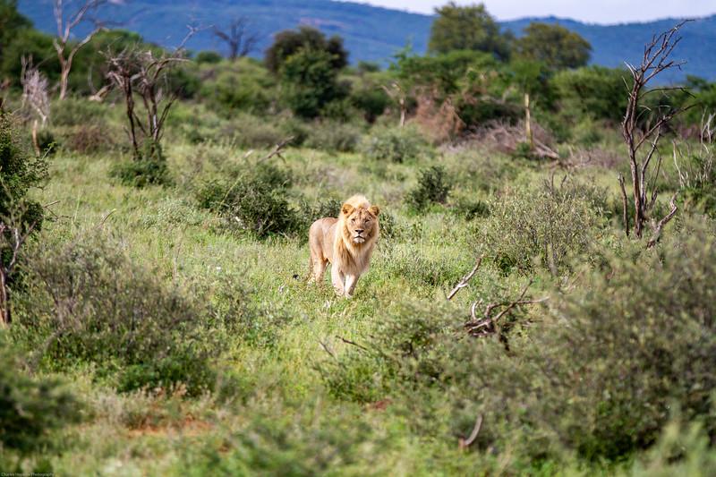 Lion - coalition member