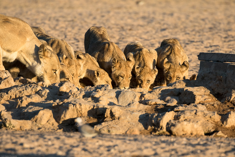 Pride of eleven lions drinking