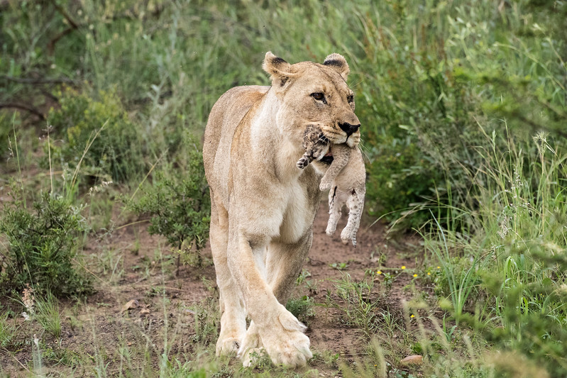 Lioness with Cub