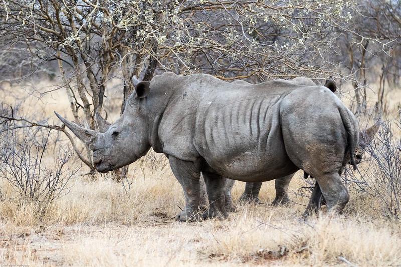 White Rhinoceros aka Square-lipped Rhinoceros