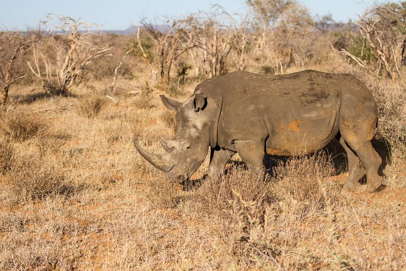 White Rhinoceros,
