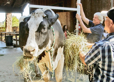 GIANT COW: Danniel the giant steer is measured by veterinarian Dr. Kevin Silver as co-owner Ken Farley helps feed him alfalfa at the Sequoia Park Zoo.  (Shaun Walker — The Times-Standard)