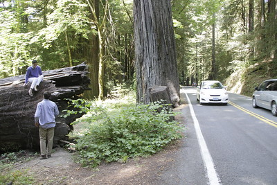 GIANT REDWOODS: Italian tourists Pierluca D'Addetta and Elena Canton take photos on a giant log near Weott on the 50th anniversary of the dedication the Avenue of the Giants. (Shaun Walker - The Times-Standard)