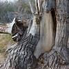 Dugout Wells Cottonwoods