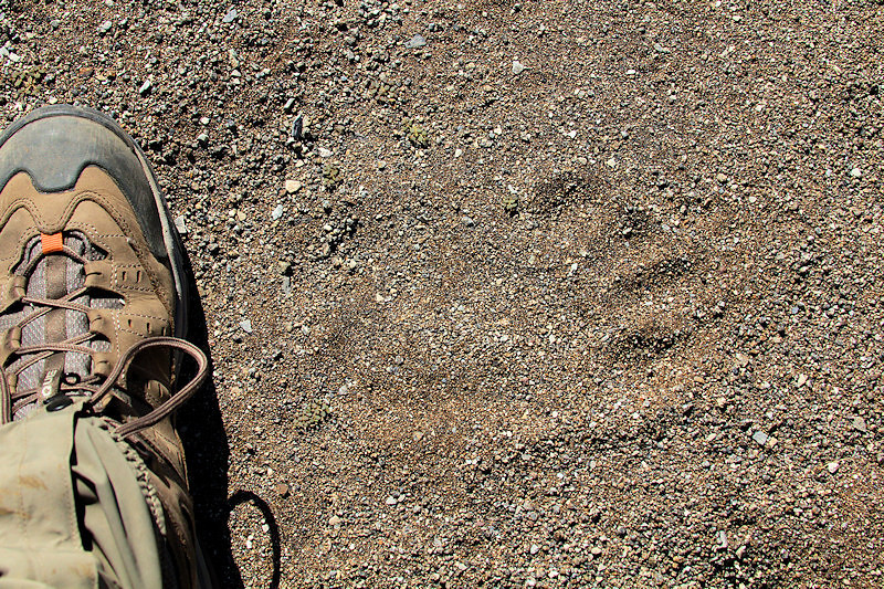 you can barley see it, but that is a black bear paw print to the right of my foot