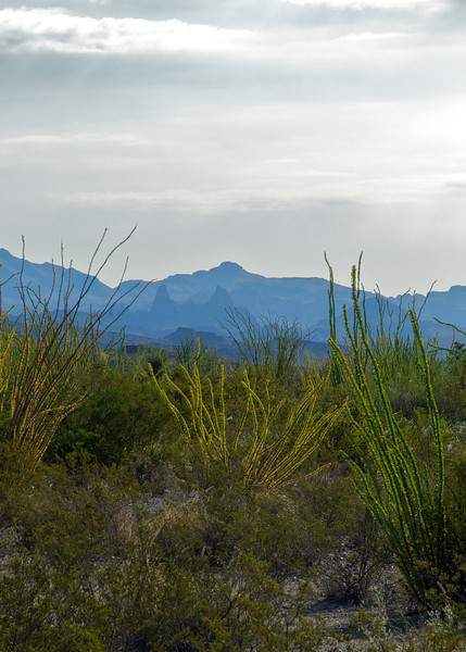 Ocotillo field with Mule Ears in the background<br /> Big Bend National Park <br /> October 2010