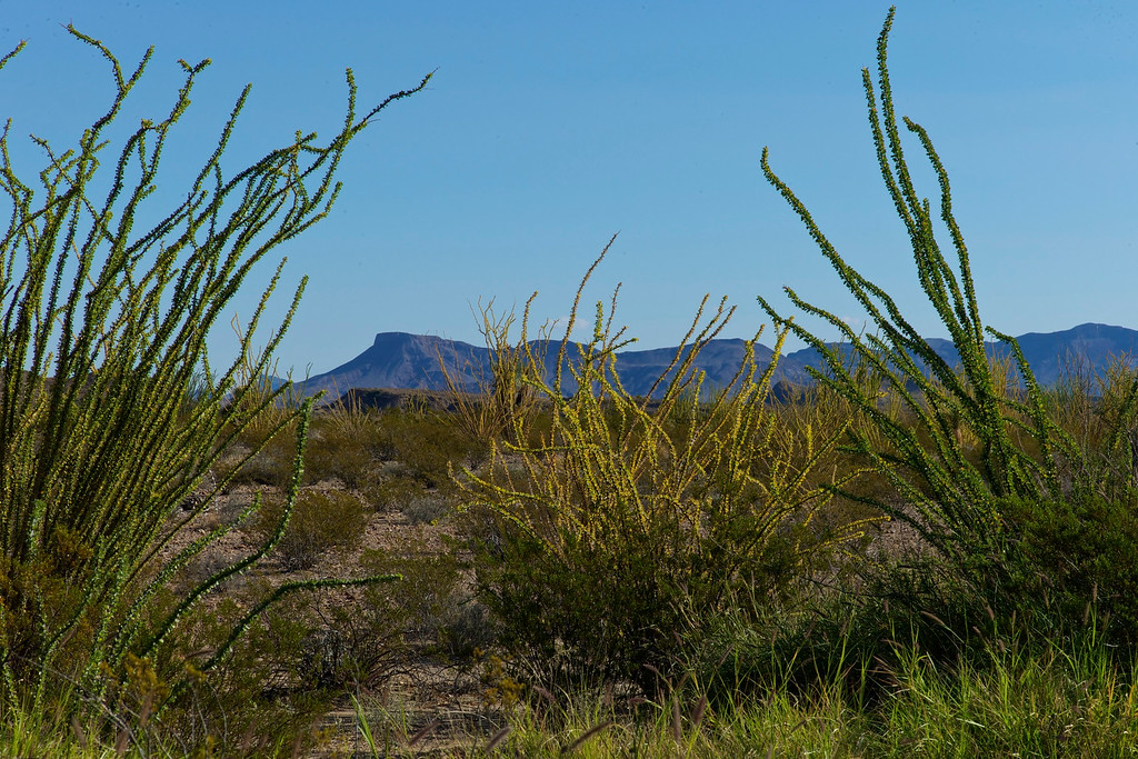 Ocotillo field and Chisos Mountains in the background<br /> Big Bend National Park<br /> October 2010