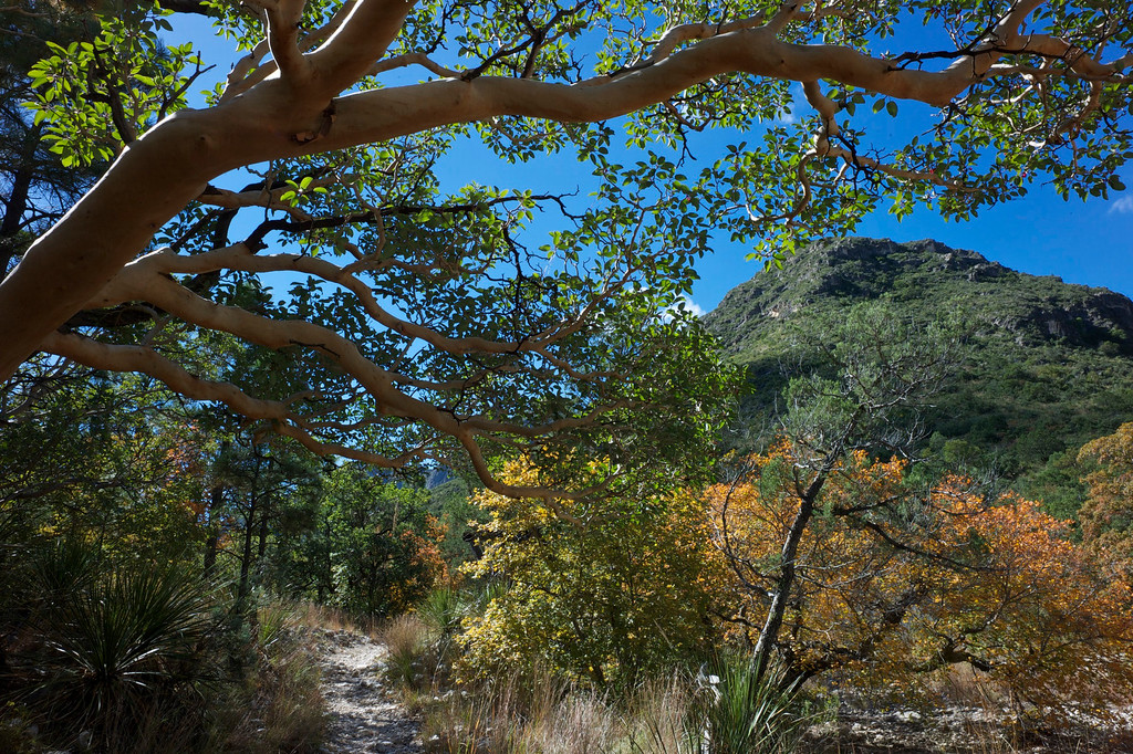 Madrone Tree<br /> McKittrick Canyon<br /> Guadalupe Mountains National Park<br /> Texas     <br /> October 2010