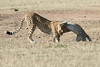Cheetah_Cub_Playing_Mom_Mara_Kenya_Asilia_20150010