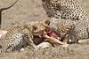 Cheetah_Feast_Mara_Kenya_Asilia_20150262
