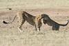 Cheetah_Cub_Playing_Mom_Mara_Kenya_Asilia_20150011