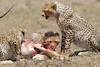 Cheetah_Feast_Mara_Kenya_Asilia_20150266