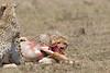 Cheetah_Feast_Mara_Kenya_Asilia_20150268
