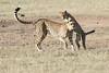 Cheetah_Cub_Playing_Mom_Mara_Kenya_Asilia_20150012