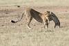 Cheetah_Cub_Playing_Mom_Mara_Kenya_Asilia_20150005