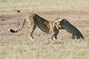 Cheetah_Cub_Playing_Mom_Mara_Kenya_Asilia_20150008