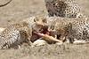 Cheetah_Feast_Mara_Kenya_Asilia_20150264