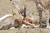 Cheetah_Feast_Mara_Kenya_Asilia_20150260