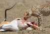 Cheetah_Feast_Mara_Kenya_Asilia_20150269