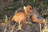 Lion Cubs Mara Rekero