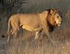 Male Lion Chitabe Botswana