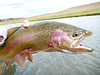 A fat cut-bow caught on Bergquist's damsel nymph...