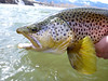 Yellowstone River brown trout.  Photo: James Anderson