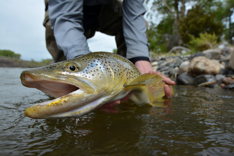 """Another """"almost 24 inch"""" brown... Photo: James Anderson"""