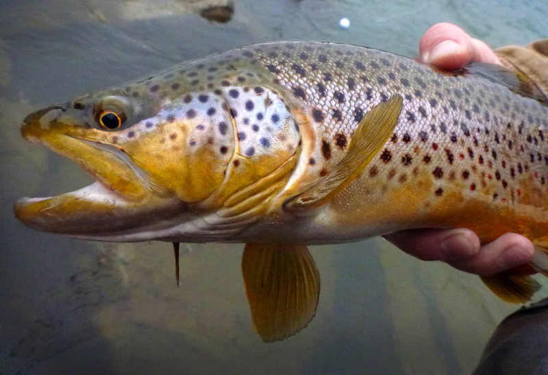 YR river brown, caught on the swing.  Photo: James Anderson