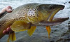 Mid-August Yellowstone Brown... Photo: James Anderson