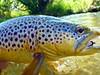 Small Creek brown, on the leadeye... Photo: James Anderson